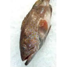Groupa Fish (Kerapu)